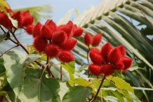 Annatto-fruit-red-Colorau