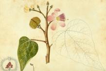 Annatto-plant-illustration-Onoto