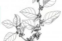 Ashwagandha-plant-Illustration