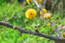 Babool-Egyptian acacia