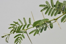 Babool-Prickly acacia