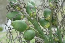 Betel-nuts-fruit-green-Buai