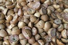 Betel-nuts-Betel palm