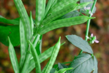 Green-Cluster-beans-on-the-plant