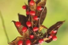 Crabs-eye-Rosary bean