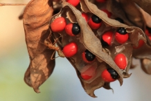 Crabs-eye- Red bead vine