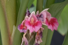 Fingerroot-flower-Lesser ginger