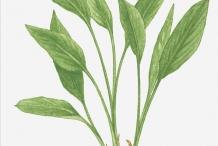 Fingerroot-plant-illustration-Gajutu