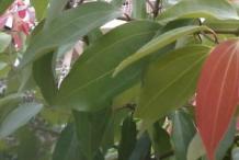 Indian-Bay-Leaf--Indian-cassia-bark