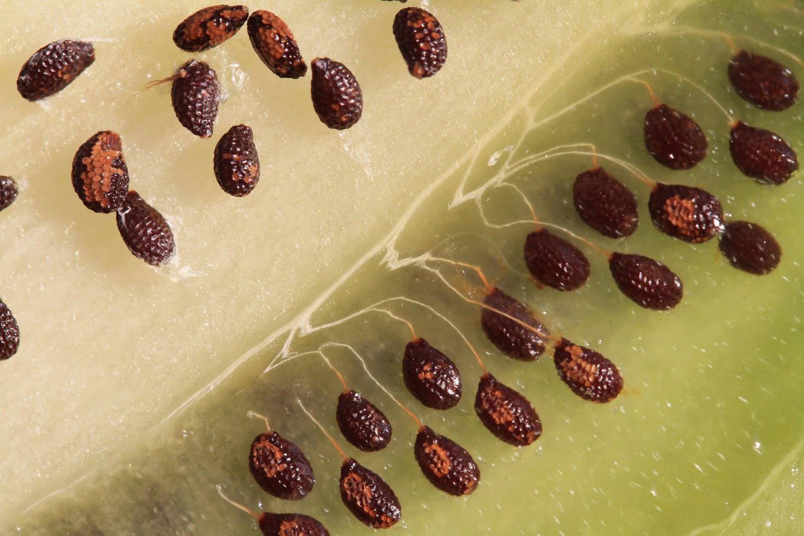Вырастить киви из семян в домашних условиях