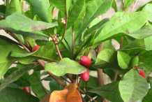 Miracle-fruit-on-the-plant