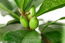 Unripe-Miracle-fruit