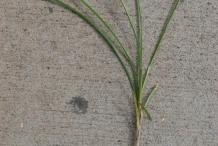 Nut-Grass--Brown-nut-sedge