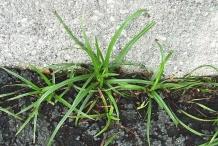 Nut-Grass--Coco-grass