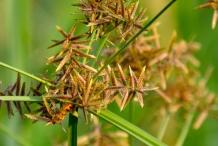 Nut-Grass--Java-grass