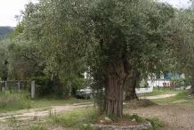 Olive tree-vaj ulliri