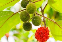 Paper mulberry 6