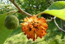 Paper mulberry 7