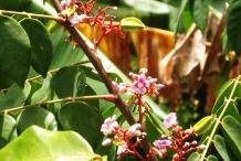 Star-apple-flower-Caimito
