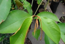 Star-apple-leaves-estrella
