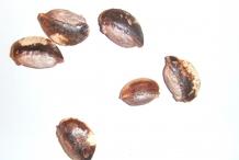 Star-apple-seeds-Damsel