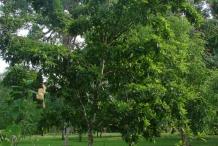 Star-apple-tree-Caimito
