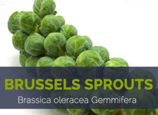 Brussels sprouts - Brassica oleracea Gemmifera