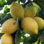 Lisbon-Lemon