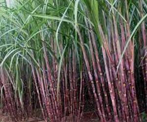 Health benefits of Sugar Cane