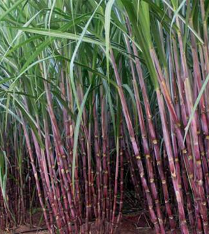 Health-benefits-of-Sugarcane