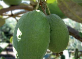 Feijoa-Acca sellowiana