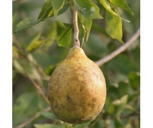 Health benefits of Bael fruit (Wood Apple)