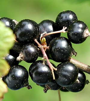 Health benefits of Black currants