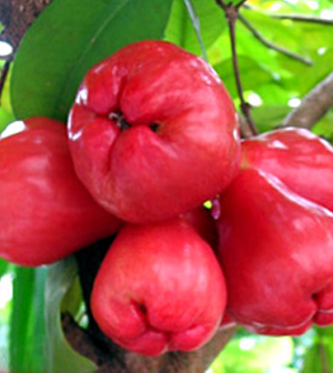 Health benefits of Rose Apple