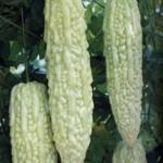 Bitter Gourd, Hybrid Beauty Winner