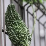 Bitter Gourd, Japan Green Spindle