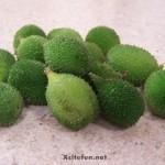 Bitter Melon, Hybrid Baby Doll