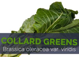 Collard Greens - Brassica oleracea var. viridis