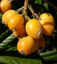 Health benefits of Loquat