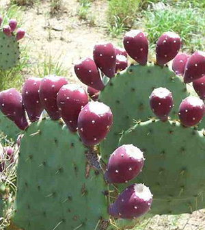 Health benefits of Nopal fruit