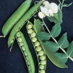 Garden Sweet Green Peas