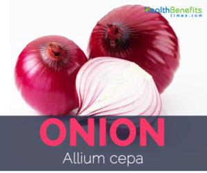 Onion - Allium cepa