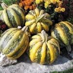 American Tonda Pumpkin