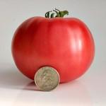 Big Pink Tomato