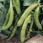 Broad Bean JUBILEE HYSOR