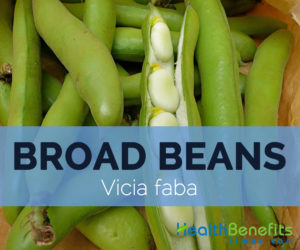 Broad-bean---Vicia-faba