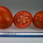 Capaya Tomato