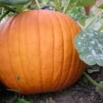 Charisma Pumpkin