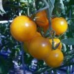 Chello Tomato