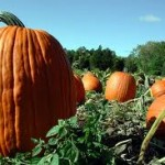 Connecticut Field Pumpkin